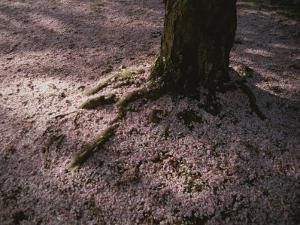 Soft Light on a Pink Carpet of Fallen Cherry Blossoms by Stephen St. John