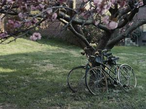 Spring Flowers Frame Two Bicycles Chained to a Tree by Stephen St. John