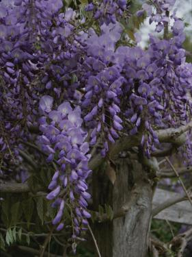 Wisteria Blossoms Drape an Old Fence Post by Stephen St. John