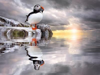 The Wonderfully Funny Puffin with a Calm Reflecting Landscape by Stephen Tucker