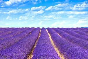 Lavender Flower Blooming Fields Endless Rows by stevanzz