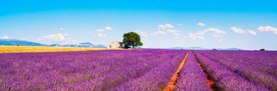 Lavender Flowers Blooming Field, House and Tree. Provence, Franc by stevanzz