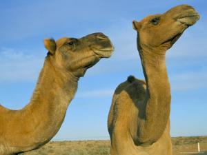 Arabian Camels (Camelus Dromedarius), Feral in Outback, New South Wales, Australia by Steve & Ann Toon