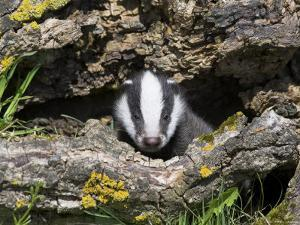 Badger Cub, Meles Meles, Captive, United Kingdom by Steve & Ann Toon