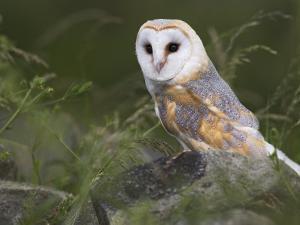 Barn Owl on Dry Stone Wall, Tyto Alba, United Kingdom by Steve & Ann Toon