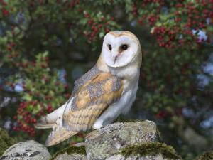 Barn Owl (Tyto Alba), on Dry Stone Wall with Hawthorn Berries in Late Summer, Captive, England by Steve & Ann Toon