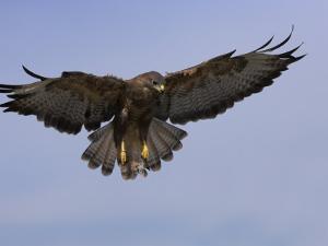 Buzzard (Buteo Buteo), Flying, Captive, Cumbria, England, United Kingdom by Steve & Ann Toon