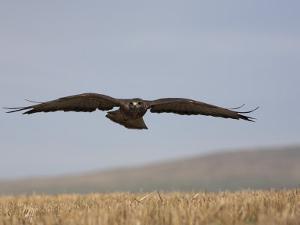 Buzzard (Buteo Buteo), Flying Over Farmland, Captive, Cumbria, England, United Kingdom by Steve & Ann Toon