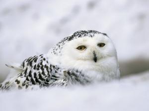 Captive Snowy Owl (Nictea Scandiaca) by Steve & Ann Toon