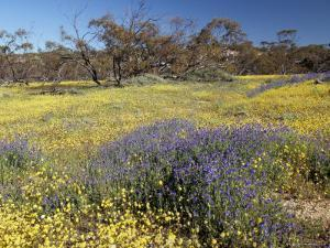 Carpet of Spring Flowers, Mullewa, Western Australia, Australia by Steve & Ann Toon