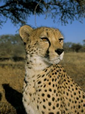 Cheetah (Acinonyx Jubatus) in Captivity, Namibia, Africa by Steve & Ann Toon