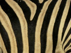 Close-Up of Zebra Skin, South Africa, Africa by Steve & Ann Toon