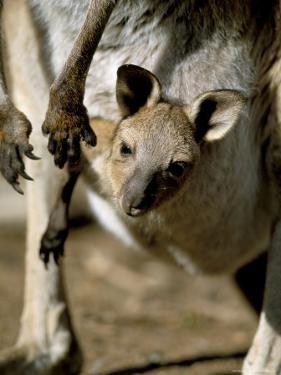 Eastern Grey Kangaroo (Macropus Giganteus) Joey in Pouch, New South Wales, Australia by Steve & Ann Toon
