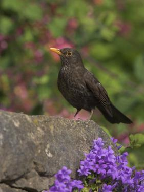 Female Blackbird (Turdus Merula), on Garden Wall in Early Summer, United Kingdom by Steve & Ann Toon