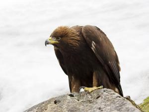 Golden Eagle, Aquila Chrysaetos, in Snow, Captive, United Kingdom by Steve & Ann Toon