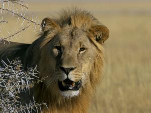 Lion (Panthera Leo), Etosha, Namibia, Africa by Steve & Ann Toon