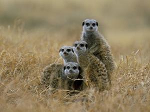 Meerkats (Suricates) (Suricata Suricatta), Greater Addo National Park, South Africa, Africa by Steve & Ann Toon
