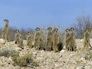 Meerkats (Suricates) (Suricata Suricatta), Kalahari Gemsbok Park, South Africa, Africa by Steve & Ann Toon