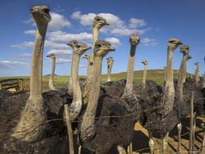 Ostriches, Struthio Camelus, on Ostrich Farm, Western Cape, South Africa, Africa by Steve & Ann Toon