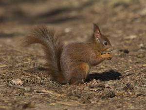 Red Squirrel, Sciurus Vulgaris, Formby, Liverpool, England, United Kingdom by Steve & Ann Toon