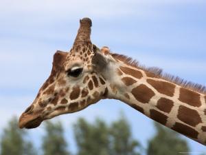 Reticulated Giraffe (Giraffa Camelopardalis Reticulata), Captive, Native to East Africa, Africa by Steve & Ann Toon