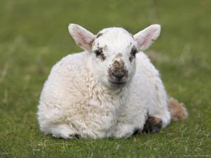 Spring Lamb, Scotland, United Kingdom by Steve & Ann Toon