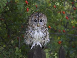 Tawny Owl (Strix Aluco), on Gate with Rosehips, Captive, Cumbria, England, United Kingdom by Steve & Ann Toon