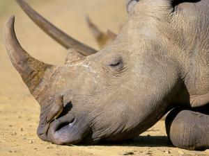 White Rhino (Ceratotherium Simum), Hluhluwe Game Reserve, Kwazulu Natal, South Africa, Africa by Steve & Ann Toon
