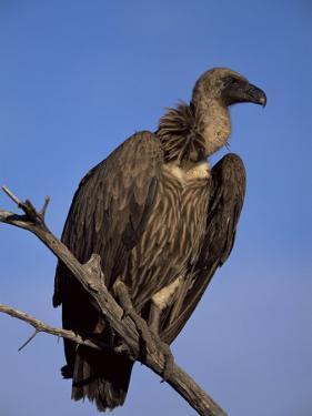 Whitebacked Vulture (Gyps Africanus), Etosha National Park, Namibia, Africa by Steve & Ann Toon