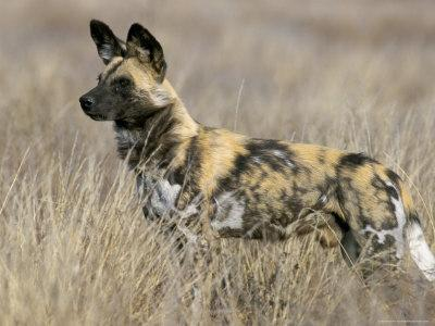 Wild Dog (Painted Hunting Dog) (Lycaon Pictus), South Africa, Africa
