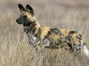 Wild Dog (Painted Hunting Dog) (Lycaon Pictus), South Africa, Africa by Steve & Ann Toon