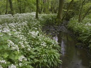 Wild Garlic, or Ramson, Allium Ursinum, Lancashire, England, United Kingdom by Steve & Ann Toon