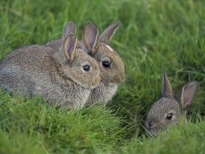 Young Rabbits (Oryctolagus Cuniculas), Outside Burrow, Teesdale, County Durham, England by Steve & Ann Toon