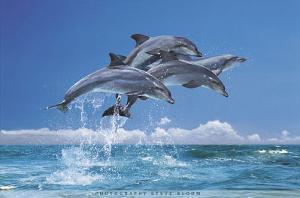 Steve Bloom (Four Dolphins) Art Poster Print
