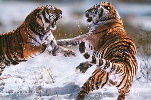 Steve Bloom (Tigers) Art Poster Print