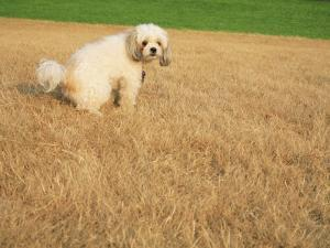 Poodle Urinating on Dead Grass by Steve Cicero