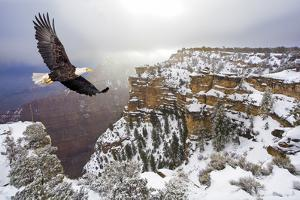 Bald Eagle Flying above Grand Canyon by Steve Collender
