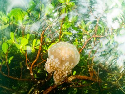 A jellyfish floats in a shallow mangrove. by Steve de Neef