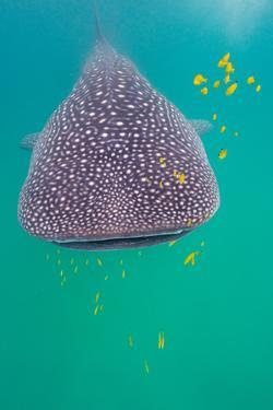 Juvenile whale shark and golden trevally. by Steve de Neef