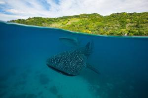 Two whale sharks swim by just below the surface. by Steve de Neef