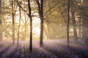 Bluebells in the Woods by Steve Docwra