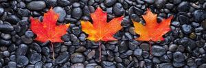 3 Maple Leaves by Steve Gadomski