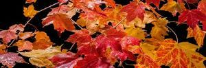 Autumn Leaf Panorama by Steve Gadomski