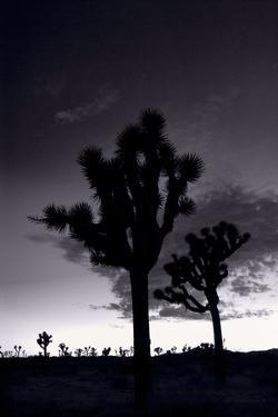 Joshua Tree Silhouettes BW by Steve Gadomski