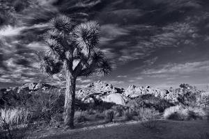Joshua Tree Sunrise BW by Steve Gadomski