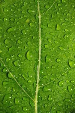 Leaf Dew Drop Number 12 by Steve Gadomski