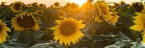 Sunflower Flare by Steve Gadomski