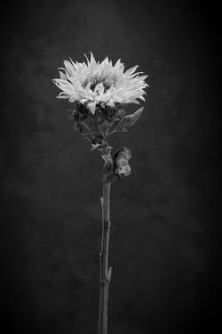 Sunflower Number 5 BW by Steve Gadomski