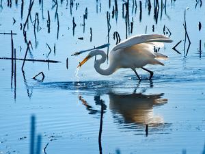 Wild Egret Fishing Horicon Marsh Wisconsin by Steve Gadomski