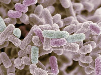 E Coli Bacteria, SEM
